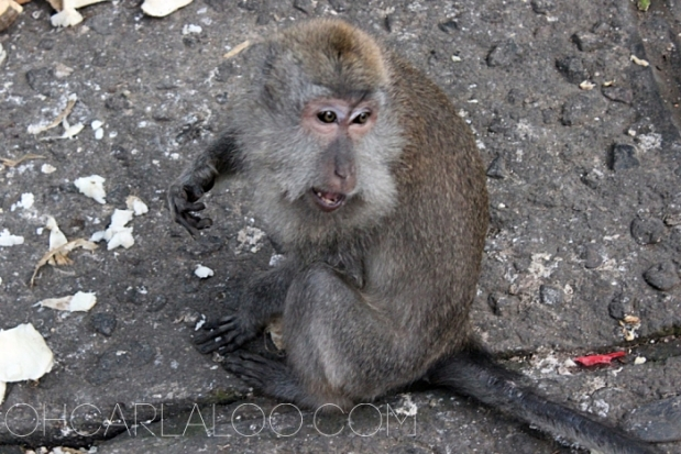 The monkeys here are friendlier.  But don't attempt to trick them with food.  They won't hesitate to show you their fangs.