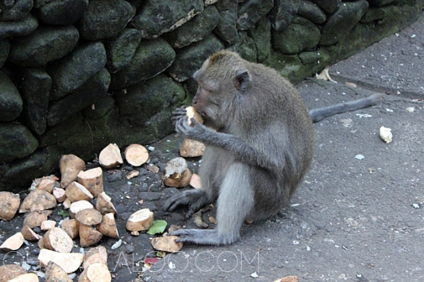 Sweet potatoes everywhere!  These monkeys are well fed and cared for.